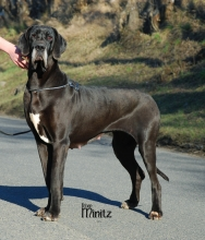 BRIGITTE Velvet dog - VCh.CZ, SK, Ch.SK, JCh.CZ