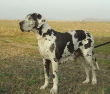 COBRA Dog-Ranč CS - VCh.CZ