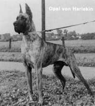 OPAL v.Harlekin - CIB, Ch.DDC, FR, Bel, Lux, NL, PL, H