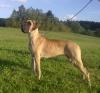 ALEXIS Glencar Dog - Ch.CZ, JCh.CZ